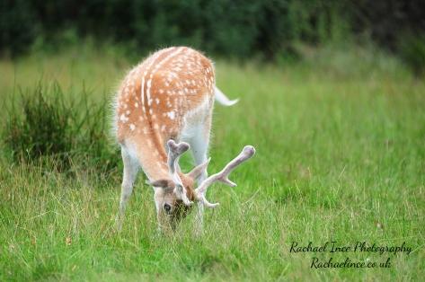 FB Bradgate Deer