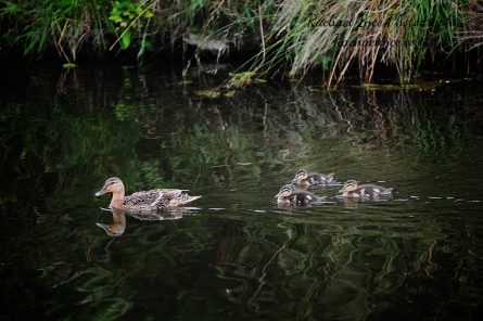FB Bradgate Ducks